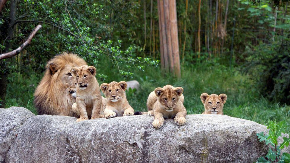 Die vier Löwenbabys mit Vater Majo