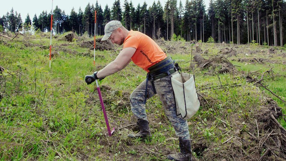 Waldarbeiter von Sachsenforst pflanzt Bäume